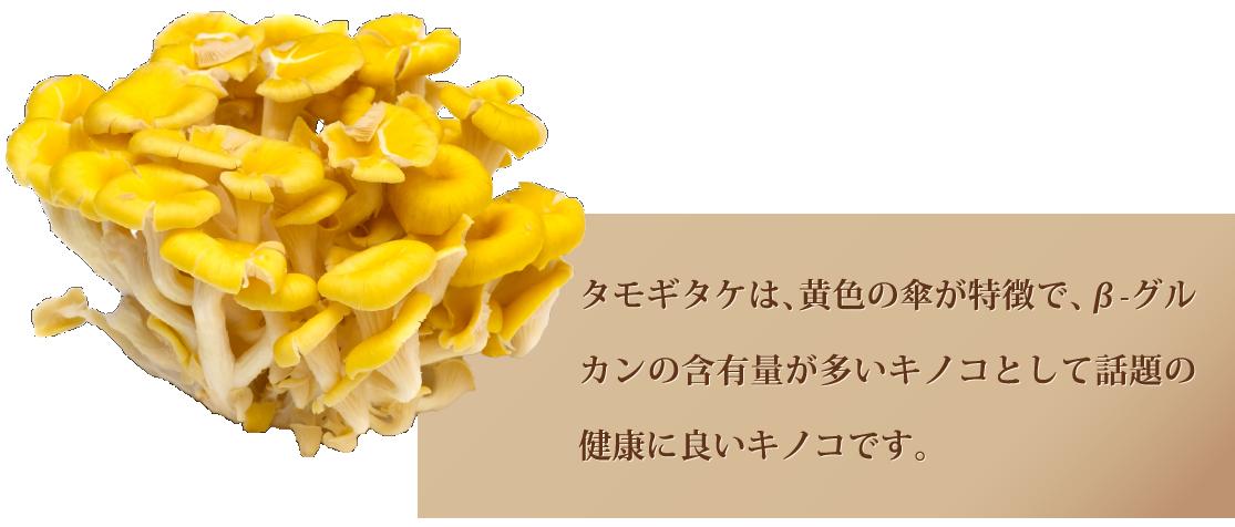 タモギタケは、黄色の傘が特徴で、β-グルカンの含有量が多いキノコとして話題の健康に良いキノコです。